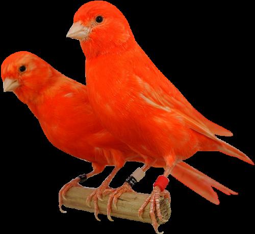 κόκκινα καναρίνια